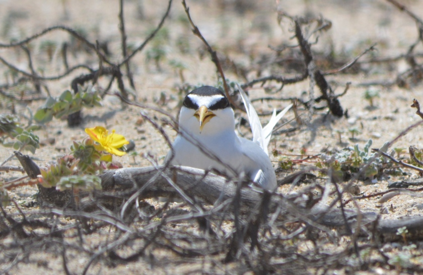 Least tern sitting on eggs at Huntington State Beach.  The nest is simply a depression in the sand.  The vegetation is not part of the nest.