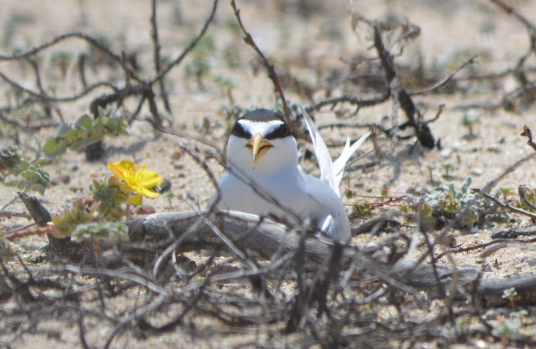 Least tern on nest. Vegetation is not part of the nest.
