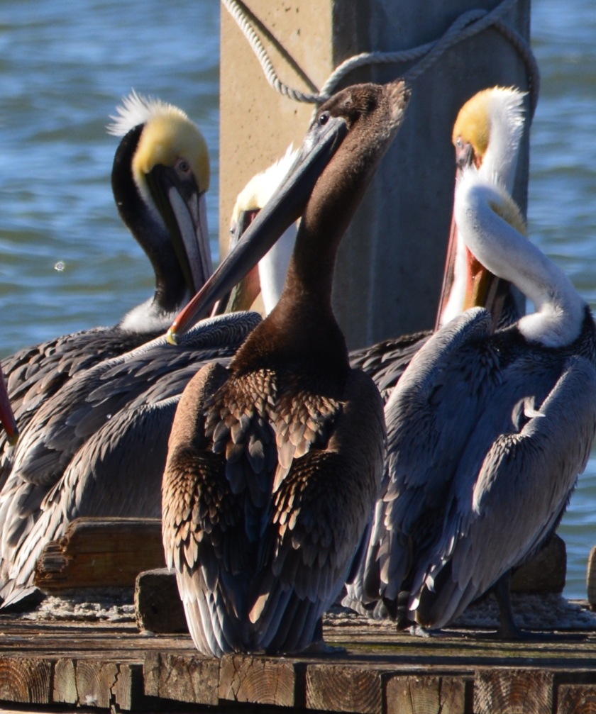 Immature (1 or 2 years old) Brown Pelican with all-brown head and neck, the only one spotted among about 100 pelicans on the dock on December 23, 2015.