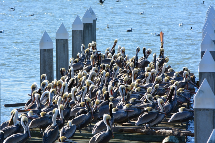 Brown Pelicans resting on old recreational boating dock on south side of Alameda Point in December.
