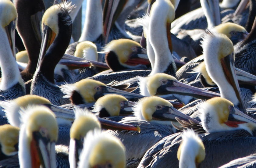 California brown pelicans huddled on the dock