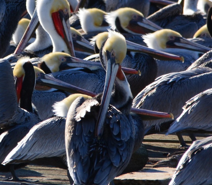 California brown pelicans in breeding plumage at Alameda Point