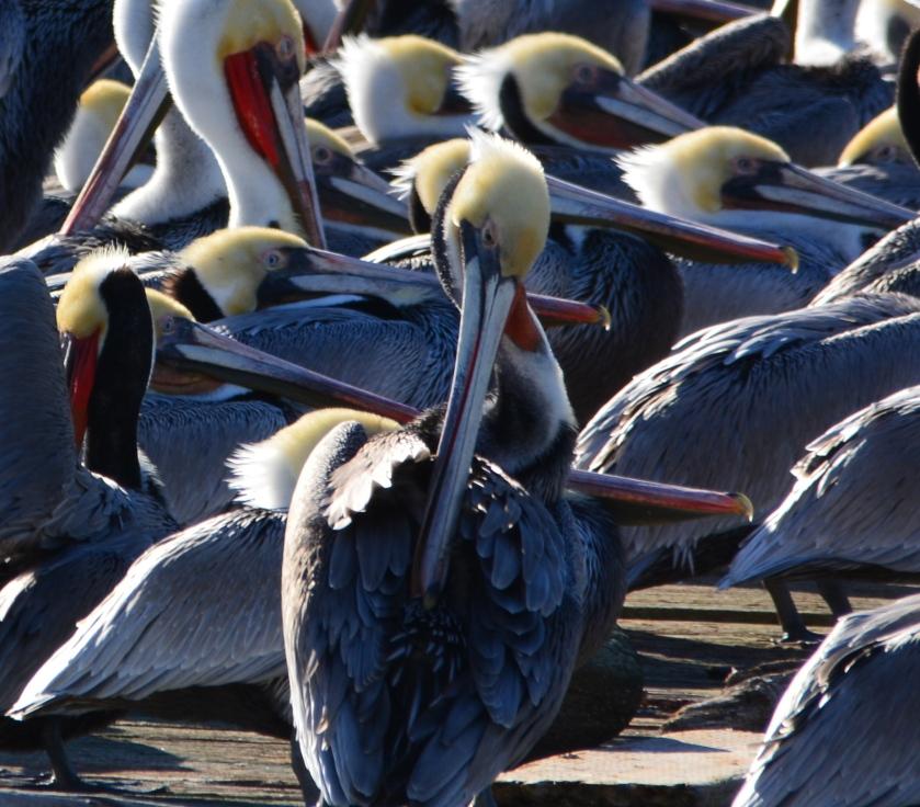 California brown pelicans in breeding plumage at Alameda Point