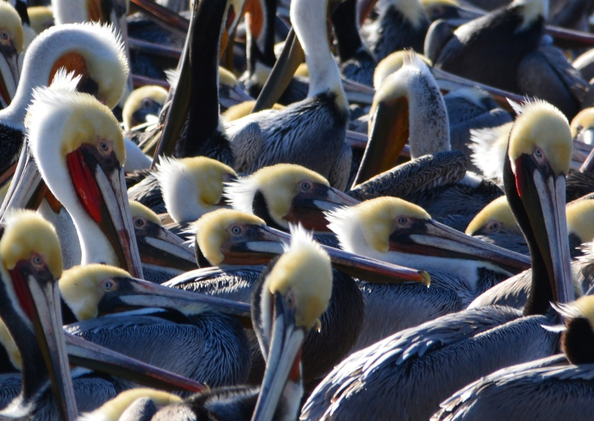 Brown pelicans roosting on the dock