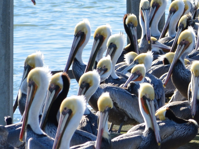 Brown Pelicans soaking up the sun during a rare visit to an old dock on Alameda Point's south shore.