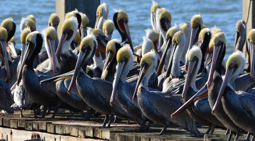 California brown pelicans resting on Alameda Point dock