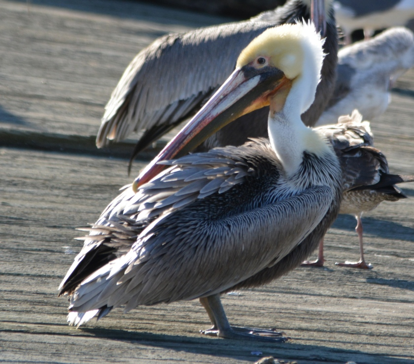 California brown pelican at Alameda Point