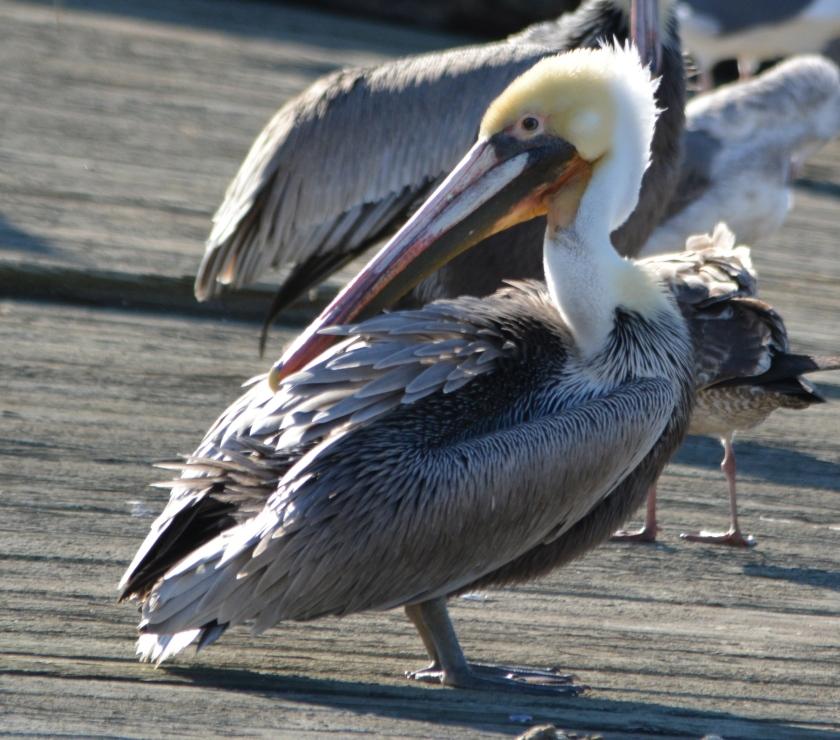 California brown pelican at Alameda Point