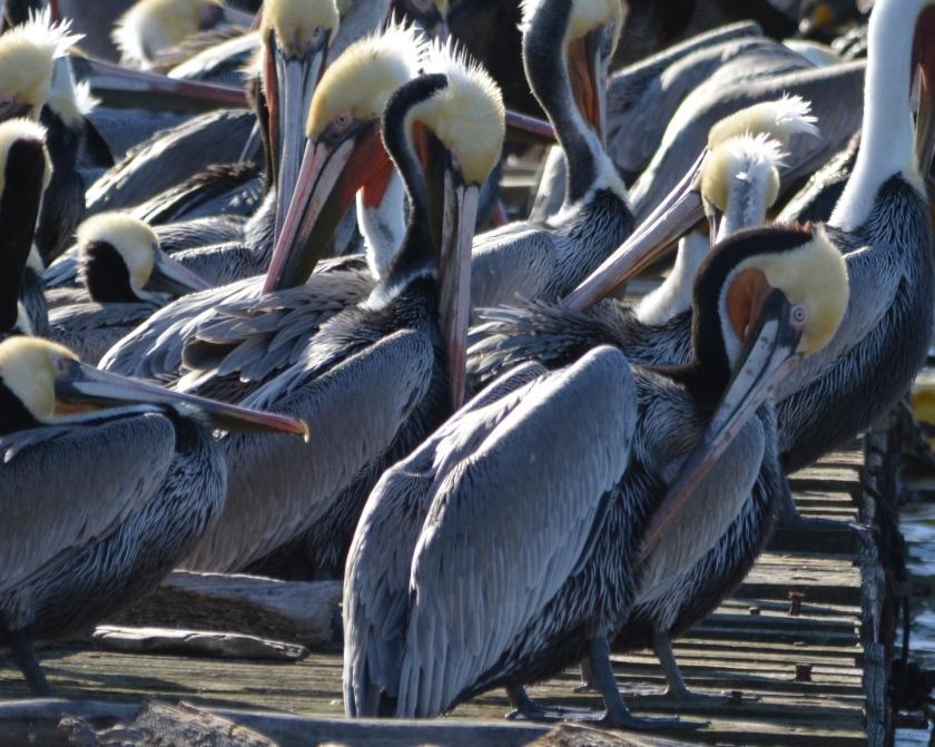 California brown pelicans in breeding plumage, Dec. 23, 2015, Alameda Point