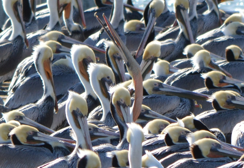 Brown pelican stretching at Alameda Point