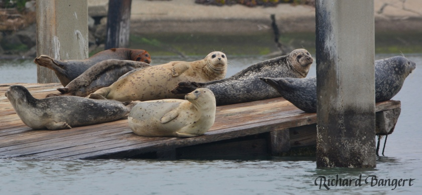 Harbor seals on old dock
