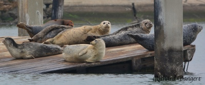 Harbor seals on old dock