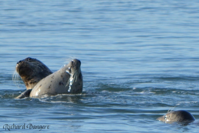 Harbor seals near the old dock in December 2015.