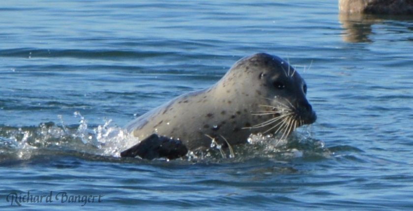 Harbor seal near old dock in December 2015.