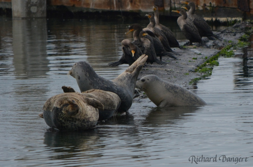 Harbor seals using old plank for hauling out.