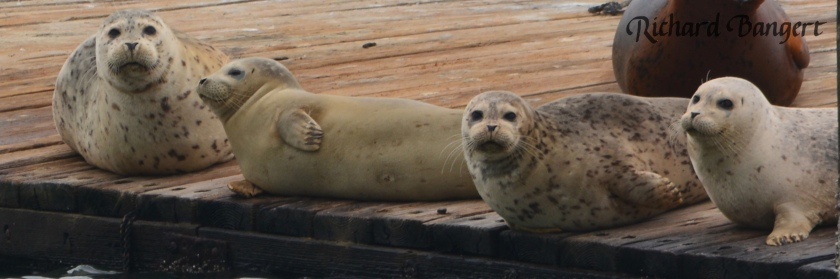 Young harbor seals Alameda Point Dec. 30, 2015