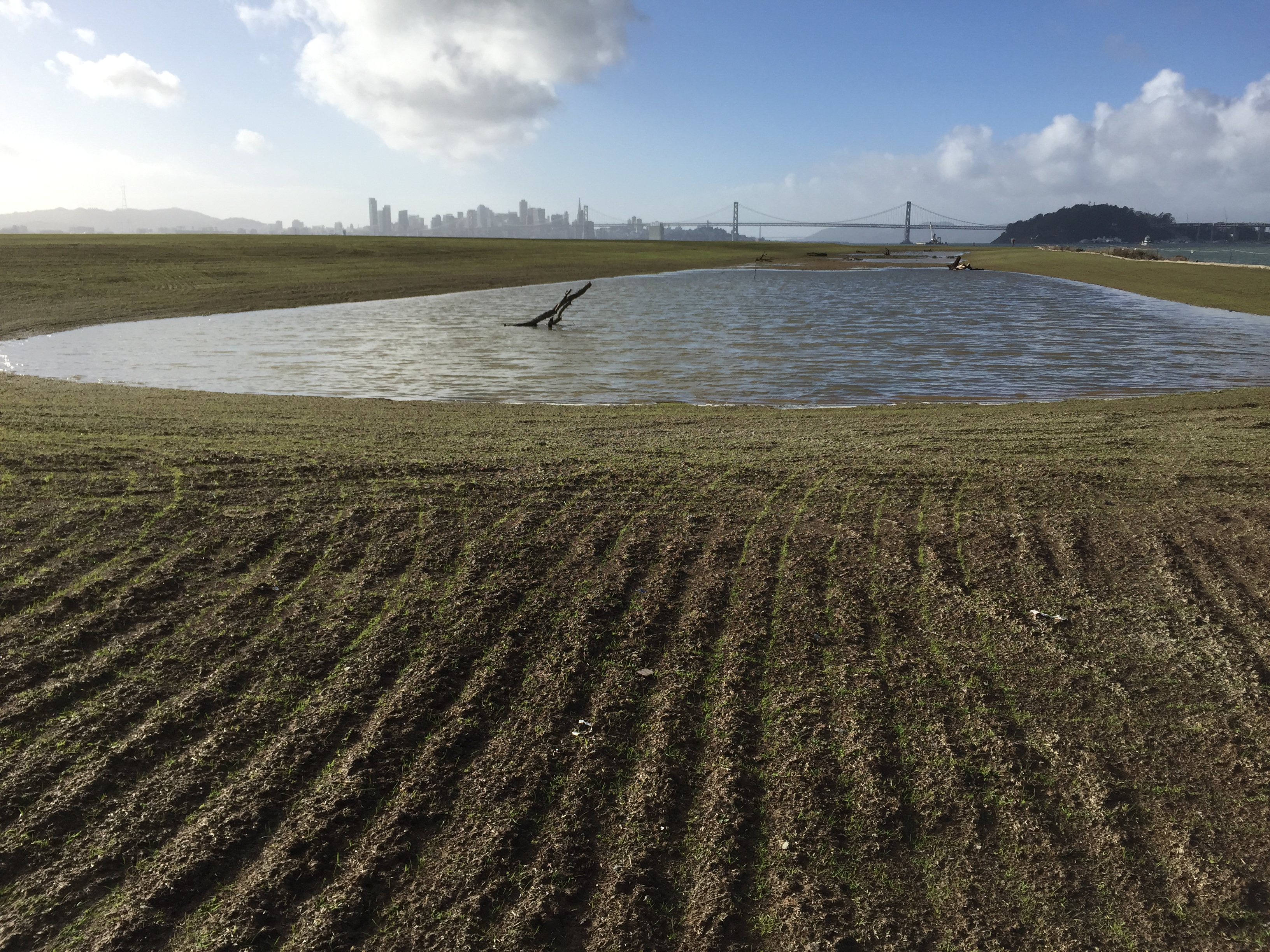 New Site 1 wetland on January 13, 2016, with San Francisco in background. Rows in soil with emerging growth were created during sowing of seeds. Navy photo.