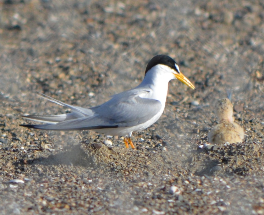 Adult least tern with chick during 2014 nesting season at Alameda Point. Photographed through chain link fence.