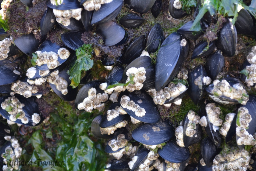 Mussels and barnacles on the breakwater at Breakwater Beach, Alameda Point.