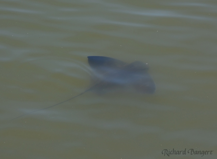 Bat ray near Bay Trail at Alameda Point.