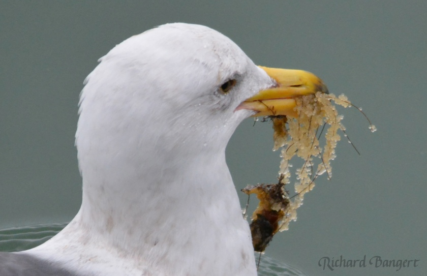 Gull with herring eggs attached to shafts of vegetation it retrieved from just below the water surface in Alameda Point harbor.