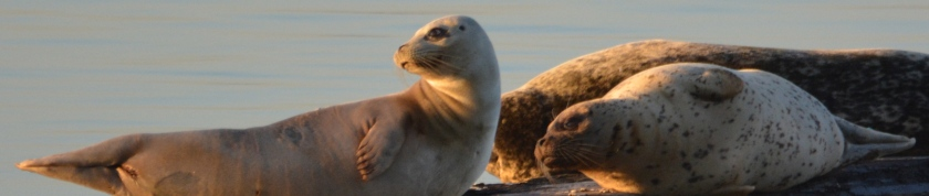 Harbor seals at Alameda Point at sunrise.
