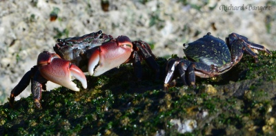 Two striped crabs eating vegetation on the breakwater at Alameda Point.