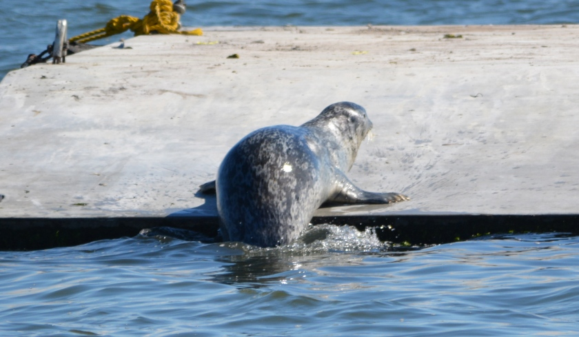 Harbor seal climbing onto new float at Alameda Point.