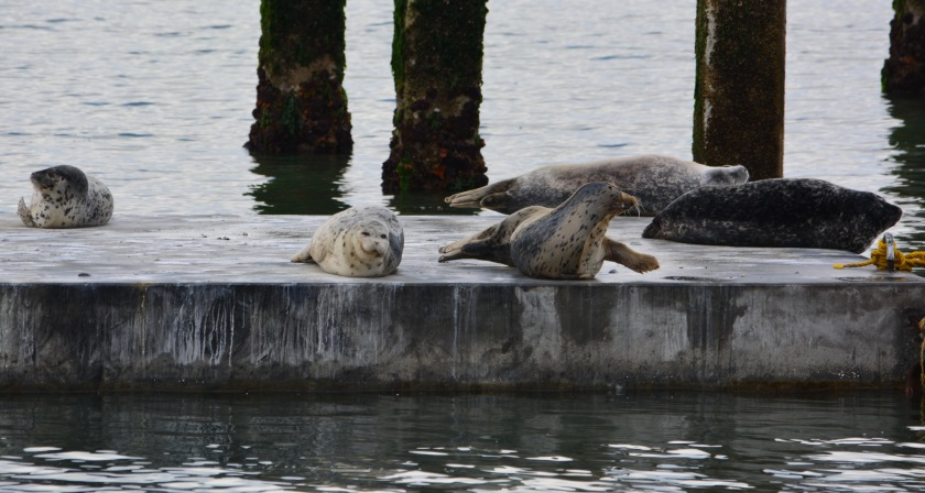 Harbor seals on new float Alameda