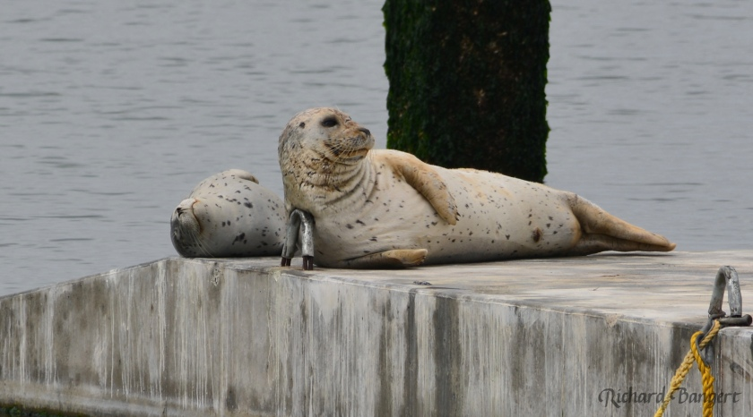 Two harbor seals on new float Alameda Point