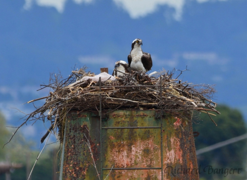 Osprey adults on April 10, 2016, just days before eggs were laid.