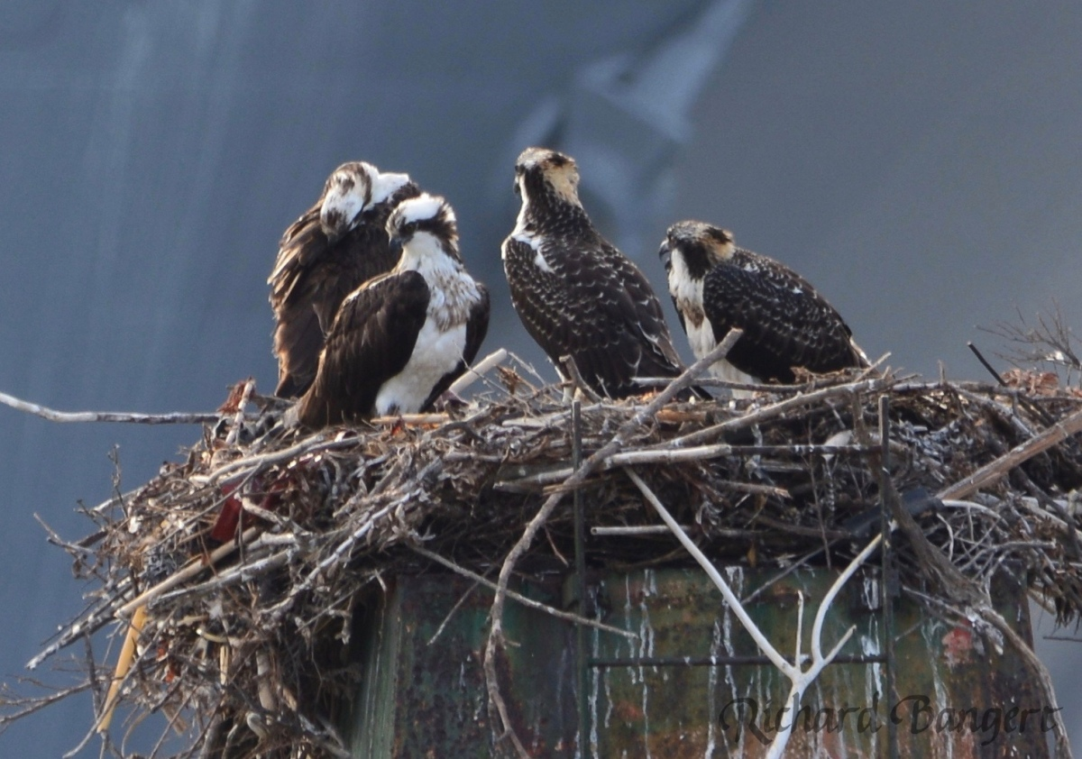 Ospreys nest successfully in 2016 at Alameda Point