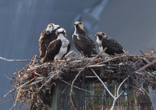 Four ospreys at Alameda Point 2016