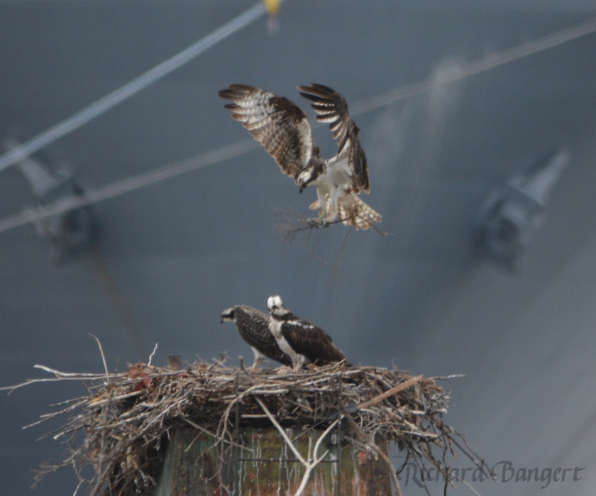 Adult osprey bring in nesting material, perhaps for training purposes.