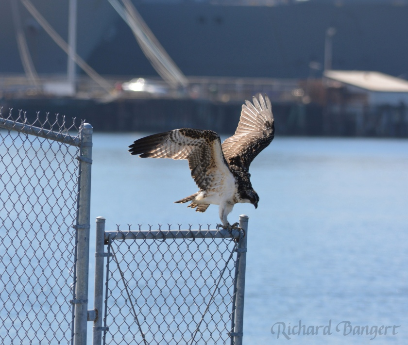 Two-month-old osprey lands on fence that keeps people from approaching the nest site.