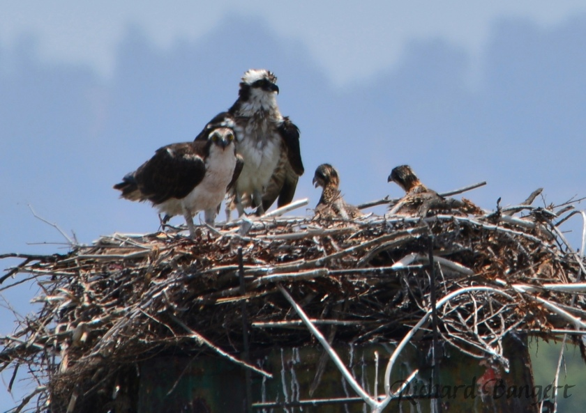 Two young ospreys on June 8, 2016, at Alameda Point Seaplane Lagoon.