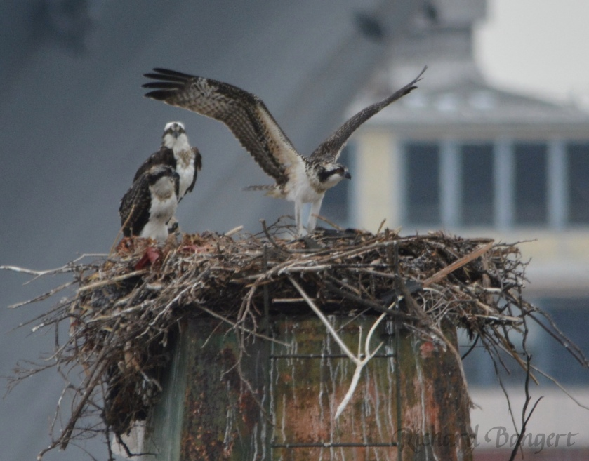 Young osprey exercising.