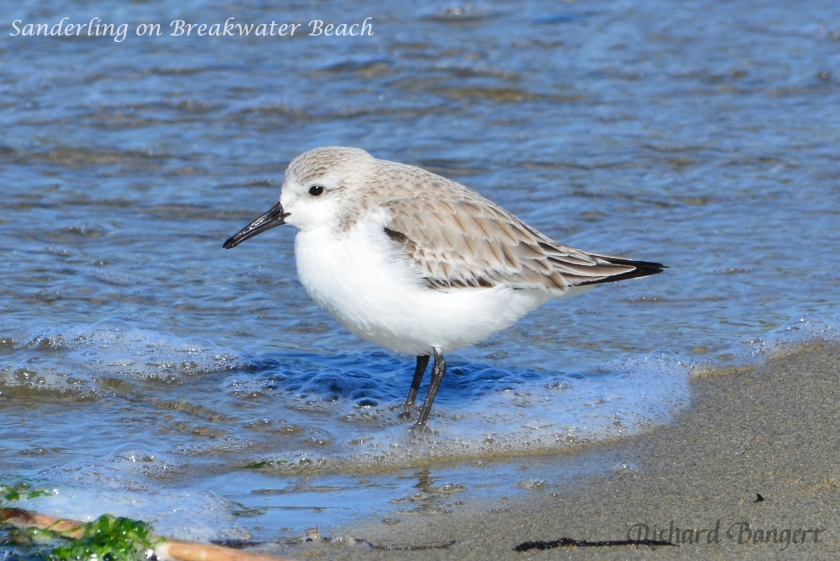 Sanderling on Breakwater Beach