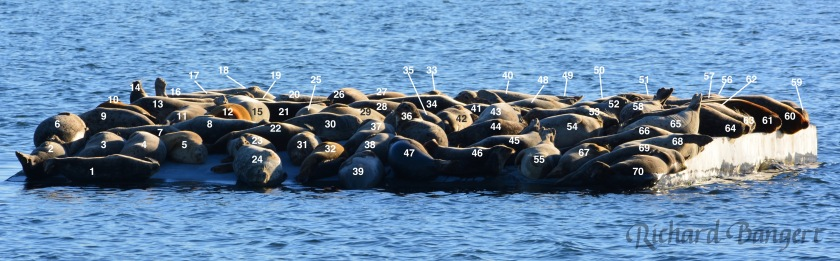 70-harbor-seals-wnumbers-copy