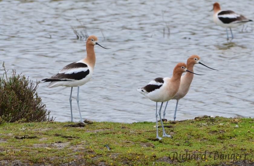 American Avocets at the Runway Wetland at southeastern corner of VA property. VA is considering improving this wetland area that currently has some sketchy landscaping.