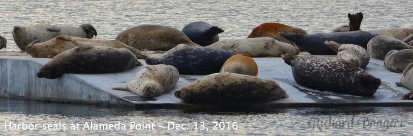 Harbor seals close up Dec. 13, 2016