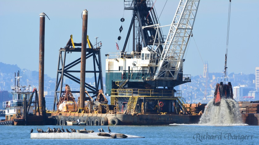Harbor seals relaxing on their new float on November 2, 2016 while dredging was underway nearby for the new ferry maintenance facility at Alameda Point.
