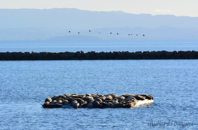 Seventy harbor seals rest on new float at Alameda Point on January 5, 2017.