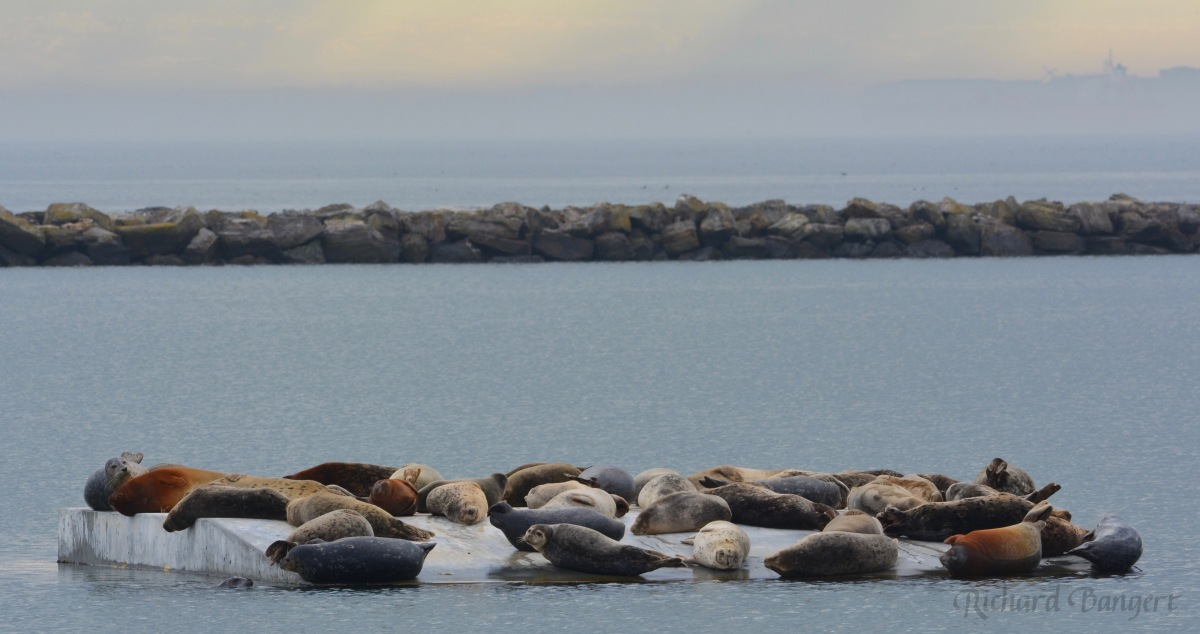 Harbor seal numbers spike during herring spawning