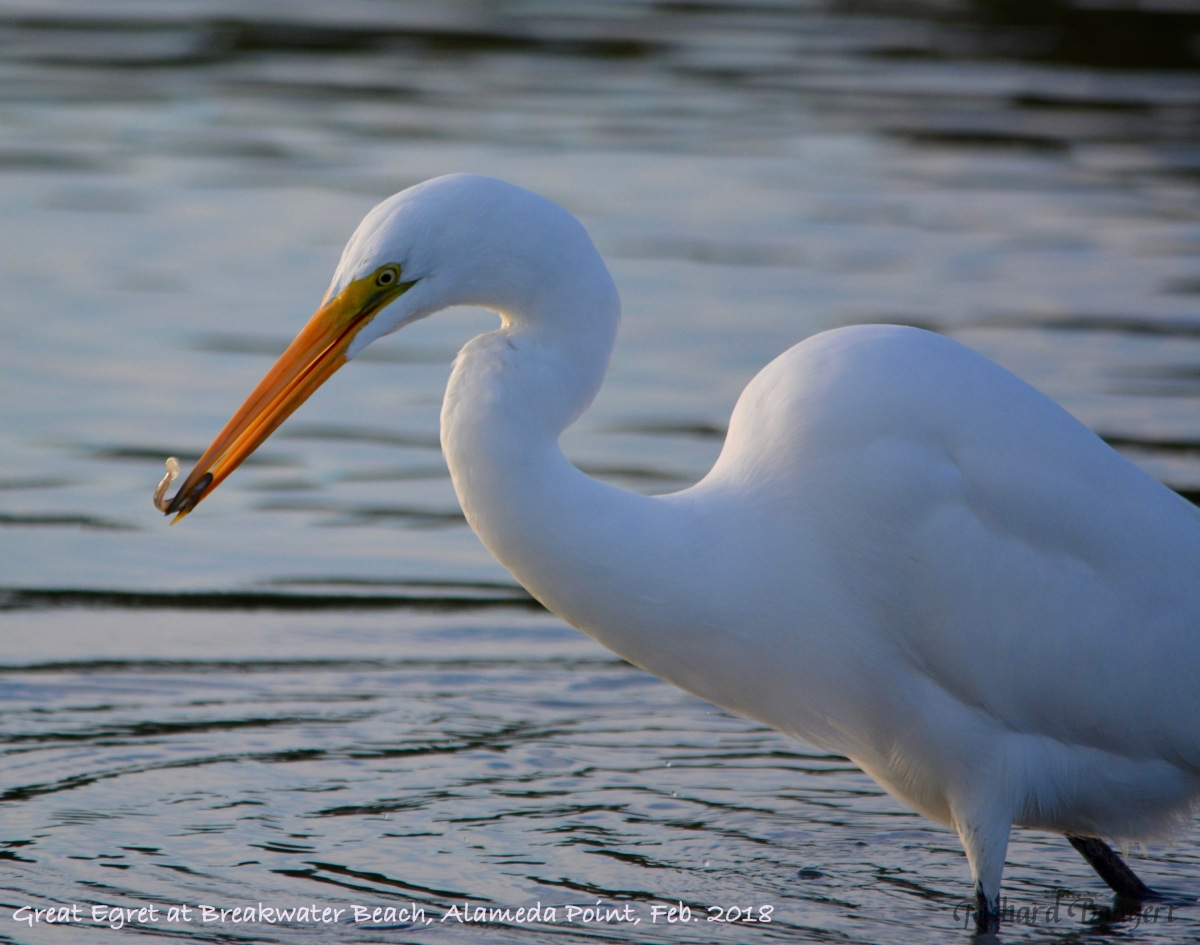 Great Egret fishing at Breakwater Beach