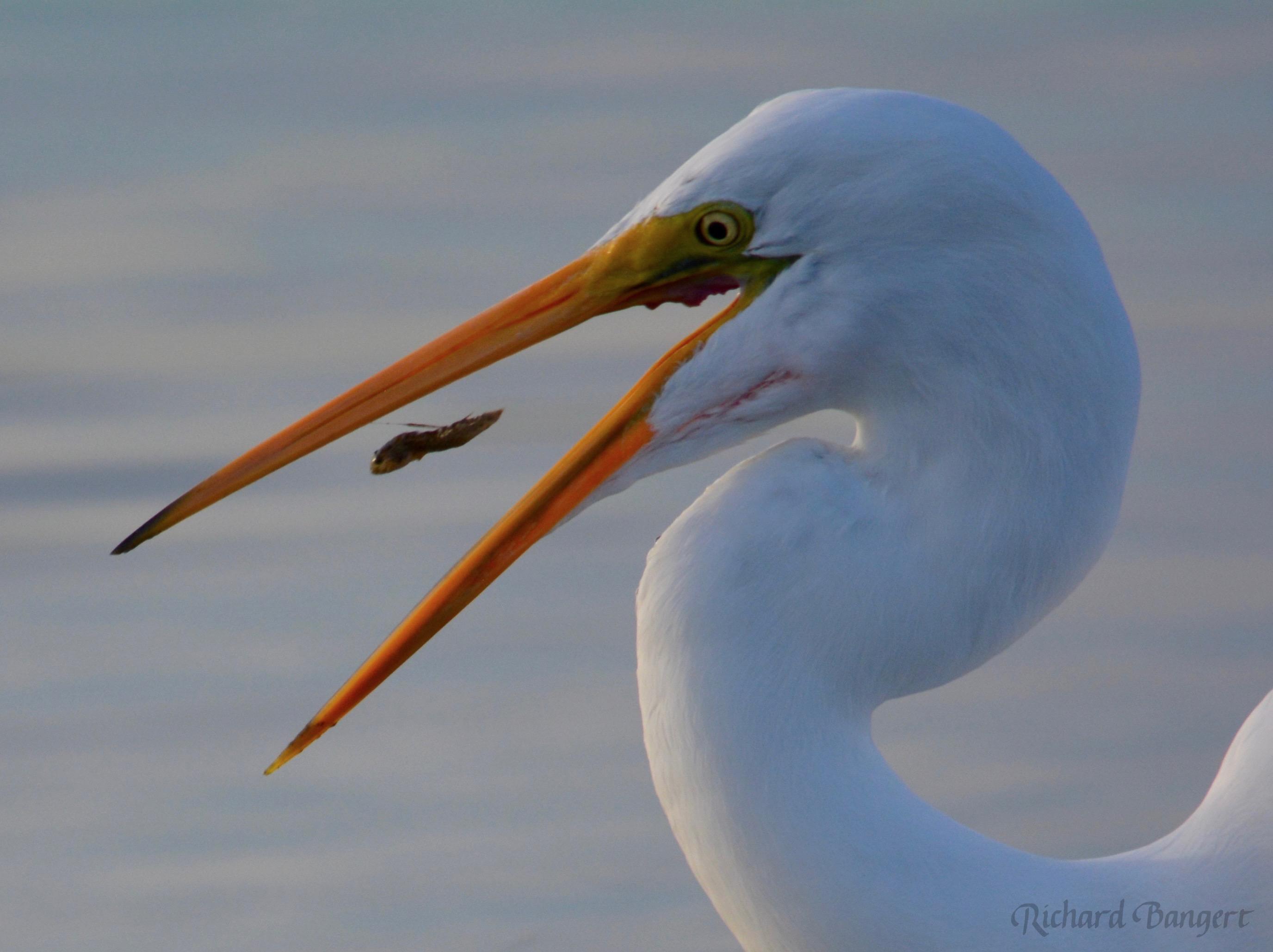 Great Egret Fishing >> Great Egret Fishing At Breakwater Beach Alameda Point