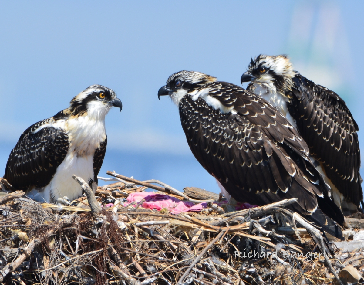 Osprey Family Thrives in Face of Adversity