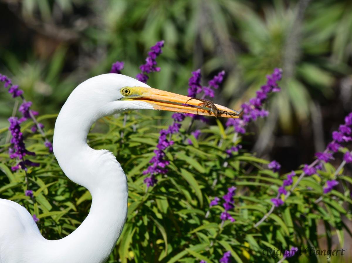 Great Egret stalks alizard