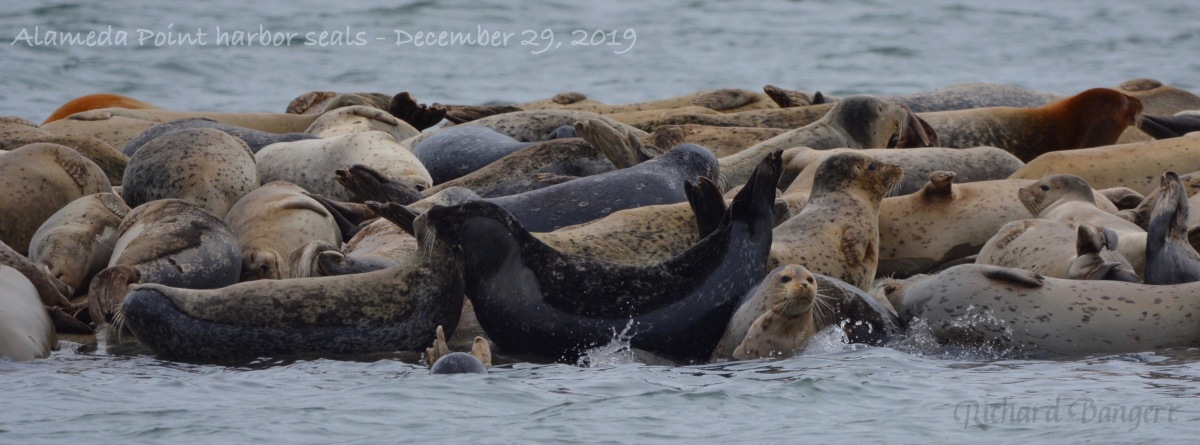 Harbor seals max out their float in December