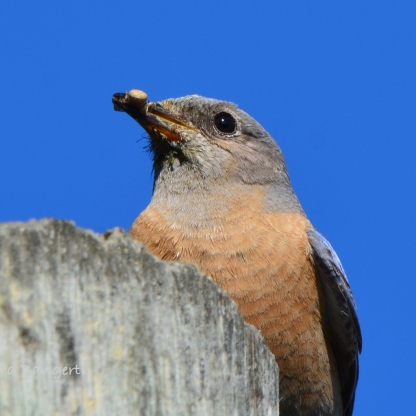 Western Bluebird with bug